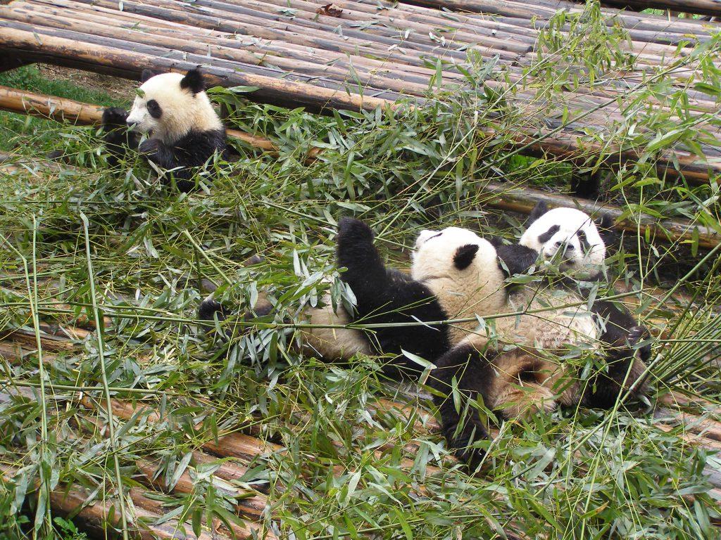 Große Panda in Chengdu
