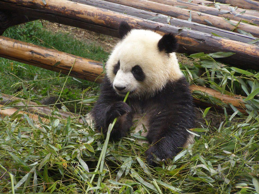 Der Große Panda isst gerne Bambus
