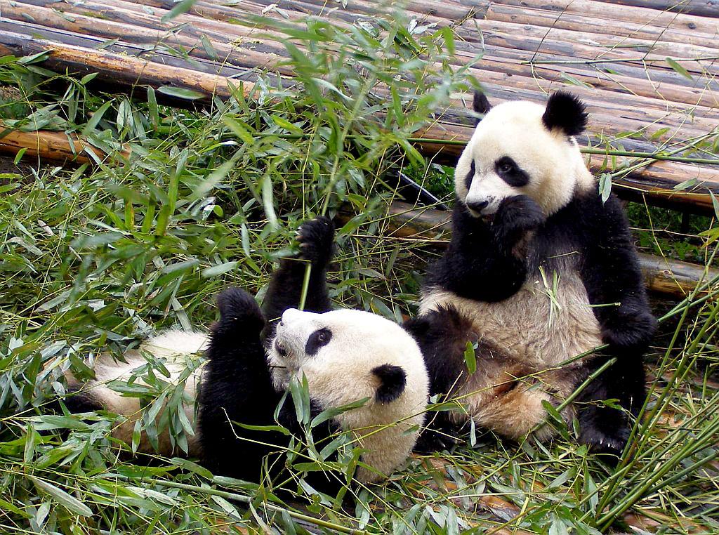 Panda-Bären in Chengdu