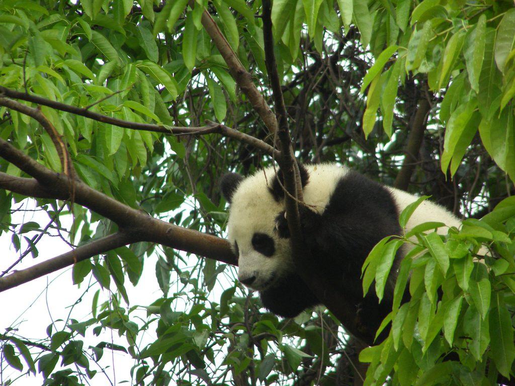 Wenn es den Bärchen am Boden unheimlich wird, dann klettern sie gerne in die hohen Bäume