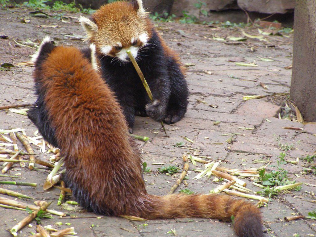 Kleiner oder Roter Panda